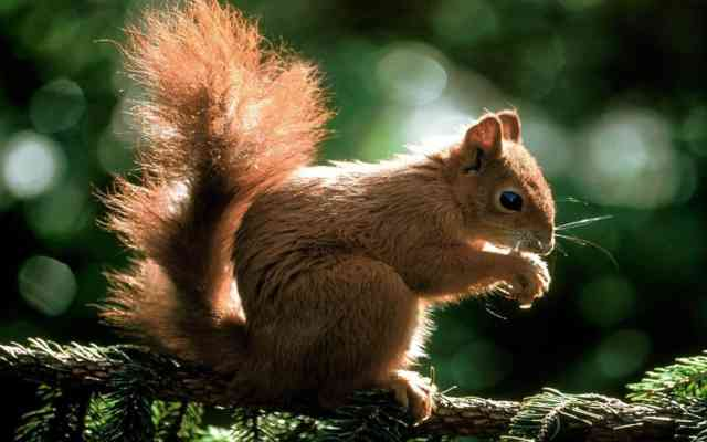 Animal wallpapers, HD squirrel