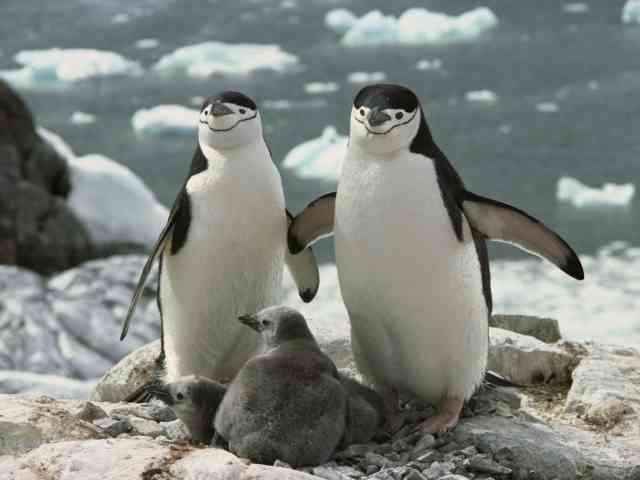 Animal wallpapers, baby penguin