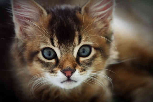 Breeds of Cats | Types of cats | Cats Wallpapers | #16