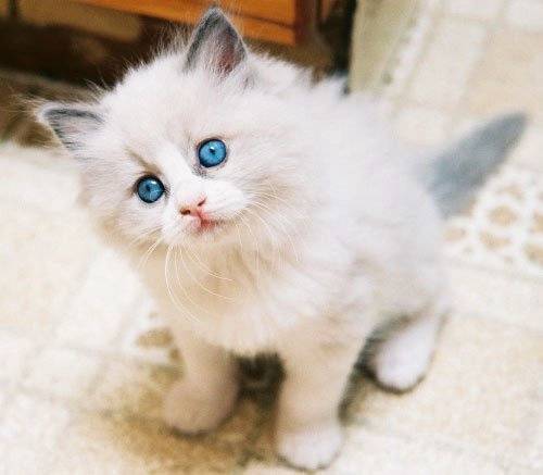 Breeds of Cats | Types of cats | Cats Wallpapers | #19