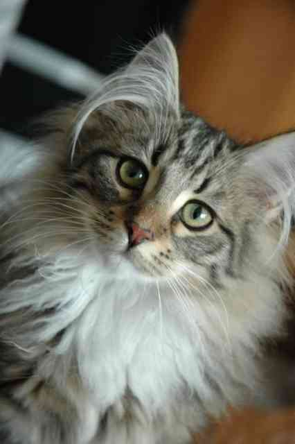 Breeds of Cats | Types of cats | Cats Wallpapers | #2