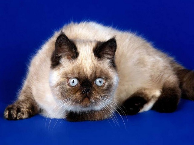 Breeds of Cats | Types of cats | Cats Wallpapers | #23