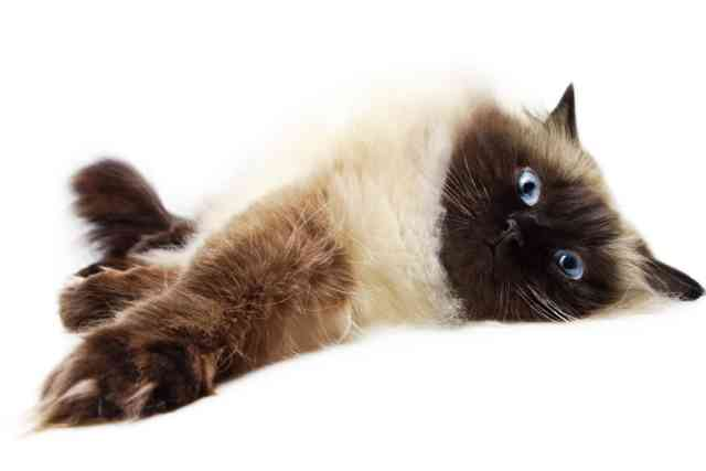 Breeds of Cats | Types of cats | Cats Wallpapers | #24