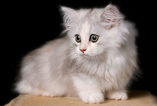 Breeds of Cats | Types of cats | Cats Wallpapers | #25