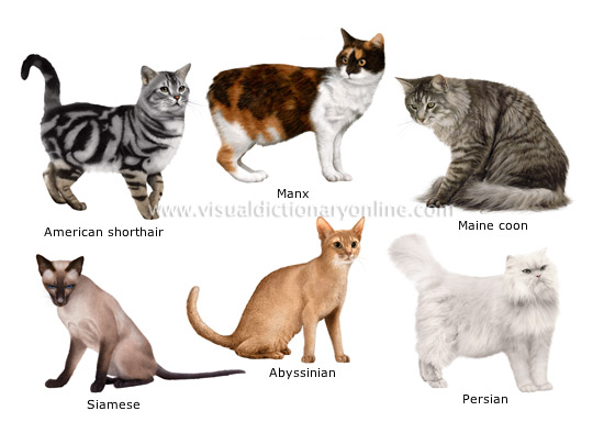 Breeds of Cats | Types of cats | Cats Wallpapers | #27