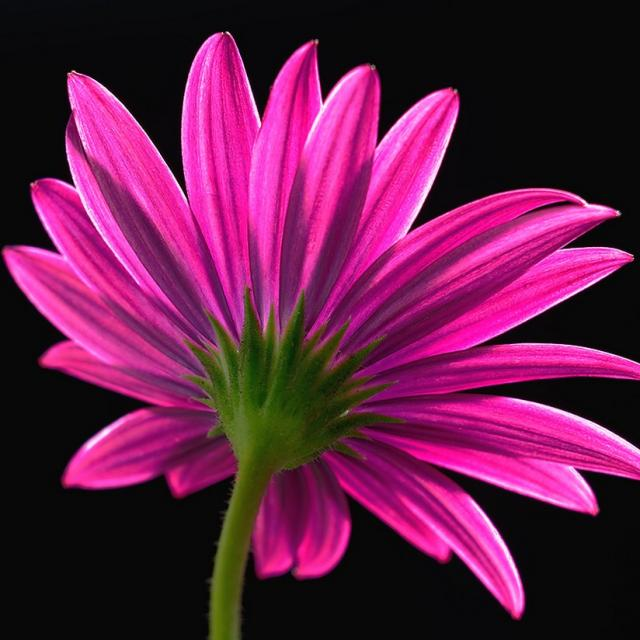 colorful flowers pink daisy, Beautiful flower