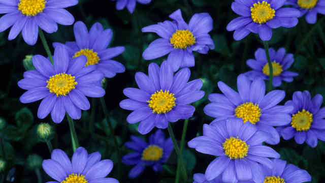 Colorful Flowers Purple Marguerite